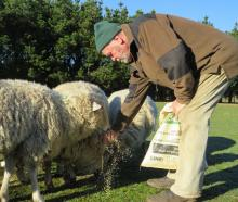 Dave Thomson, of Windermere, just south of Ashburton, hand feeds his flock. PHOTO: TONI WILLIAMS