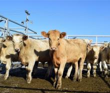 Meat processors say they are working overtime to ease drought and supply chain pressure. PHOTO:...