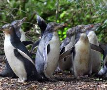 A waddle of yellow-eyed penguins, raised in rehabilitation at Penguin Rescue in North Otago last...