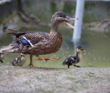 Thanks to some quick thinking, two ducklings lived to swim another day. Photo: Getty Images