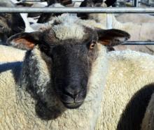 A prime lamb on sale at Balclutha Saleyards last week.