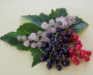 Red, white or black?  Each type of currant has multiple uses. Photos by Gillian Vine.