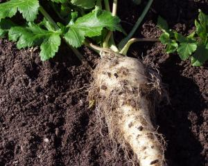 Mature parsnips start growing again in spring. Photos: Gillian Vine.