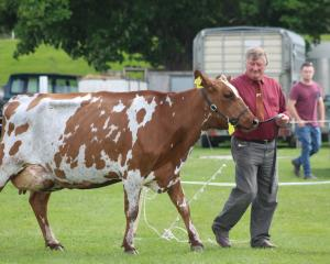Ken Eade, of Kelso, leads Fairleigh Bur Peach, who was named South Island Ayrshire champion and supreme animal at the South Otago A&P Show at Balclutha on Saturday. Photos by Nicole Sharp.