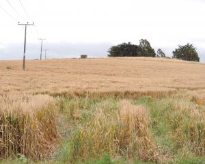 This wheat paddock near Oamaru is maturing slowly in cloudy conditions. Photo by Sally Brooker.