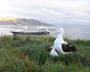 An albatross and its chick watch as the cruise ship Azamara Journey enters the Otago Harbour for the first time yesterday. Photo by Stephen Jaquiery.