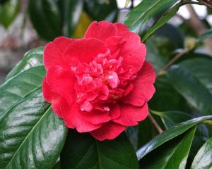 Prune spring-flowering shrubs like camellias after flowering. Photos: Gillian Vine