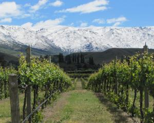 Snow covers the  Pisa Range behind the Wooing ree vineyard at Cromwell. Photo: Pam Jones.
