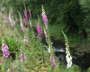 Digitalis purpurea growing alongside Lindsay Creek, Dunedin. Photos: Gillian Vine