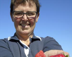 Heather Preedy, owner of Ettrick Gardens, shows off her new season strawberries. The berry fruit season is early this year thanks to the weather. Photos: Simon Henderson