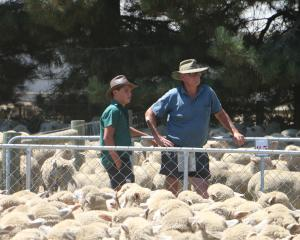 Poll Dorset breeder George Lowe, from the Windermere stud, near Ashburton, and his grandson Hunter Brook inspect the yarding of Poll Dorset-merino-cross lambs at Castle Ridge Station's annual on-farm lamb sale in the Ashburton Gorge. Photos: Ian McCall