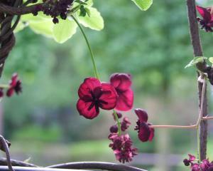 The flowers of chocolate vine (Akebia quinata) have a chocolate-vanilla perfume. Photos: Gillian...