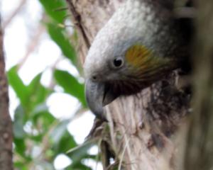 It doesn't take long for the first kaka to arrive at the feeding station in the morning. Photos:...