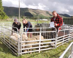 Ashburton College pupils tackle a stock-judging challenge with Glenavy Young Farmers volunteer Ross McCulloch. Photos: Sally Brooker