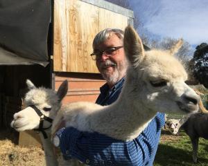 Otaio Bridge Alpacas co-owner Jacob van Neuren holds alpaca cria (baby) Southern Rimu, watched by Ourisia. Photos: Greta Yeoman