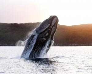Each whale has a unique pattern of callouses, allowing researchers to recognise individuals....