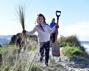 Dunedin girl Mackenzie Hepburn lends a hand during a planting project in St Clair on Saturday.