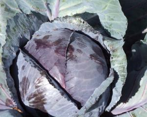 Red and green cabbages, as well as cauliflowers and broccoli, are descended from a single species...