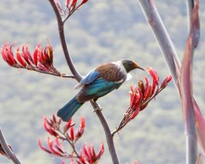 A tui searches for nectar in harakeke flowers at Makarora. Photo: Paula Trembath