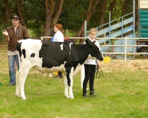 Alisha Parsons (11) with her calf in the intermediate showmanship class. Photos: Ken Muir
