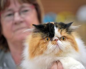 Holding her Persian cat Bellevista Tears in the Rain is Jenny McCallon, of Waikouaiti.PHOTOS:...