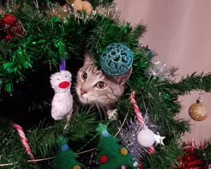 Two-year-old Ash plays in the Christmas tree. Photo: Ali Cannan