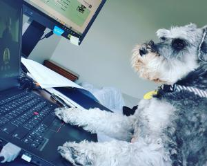 Working from home . . . Miniature schnauzer Austin on keyboards in Dunedin. PHOTO: Nikita Thompson