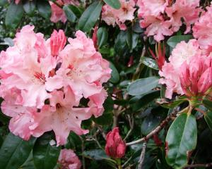 Eating rhododendrons can kill stock.