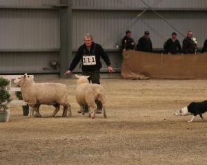 Geoff Tweedie of Forest Hill and Dice concentrate on convincing the sheep they should cross over...