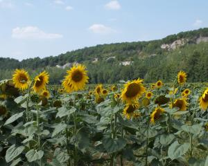 A field of sunflowers in France. PHOTOS: GILLIAN VINE
