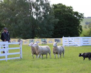 Darfield's Andy Clark and Millie position the sheep to walk straight into the pen. PHOTOS: SANDY...