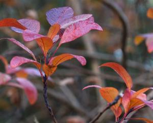 Cotinus 'Grace' displays its richly coloured leaves. Photo by Linda Robertson.