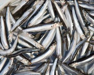 1200px-Anchovies_4122029675.jpg
