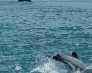 A high number of reported deaths among endangered Hector's and Maui dolphins prove that new...