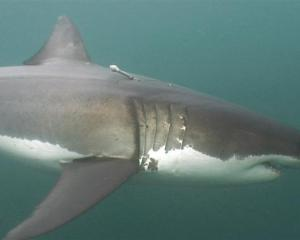 A New Zealand great white shark named Shack has set a world record for the deepest known dive:...