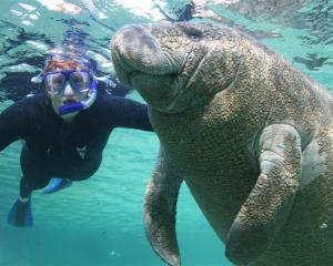 A woman snorkeler swims with a manatee in the Crystal River National Wildlife Refuge in Crystal...