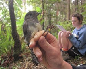 Banding an adult female with field assistant Rebecca McMullin recording in the background.