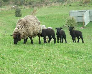 Beef and Lamb New Zealand statistics paint a rosy picture of lamb and mutton exports. Photo from...