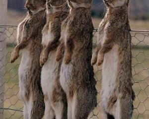 Dead rabbits strung on a fence at Lowburn, near Cromwell, after the illegal release of rabbit...