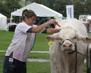 Evolution, a Charolais cattle beast from Silver Stream at Greenpark, near Tai Tapu, Christchurch,...