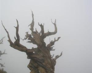 Fog swirls around a bristlecone pine in the Ancient Bristlecone Pine Forest in California's Inyo...
