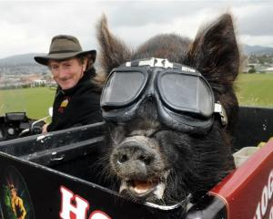 Jonah, a kunekune pig, takes a ride with Billy Black in Dunedin this week. Photo by Stephen...