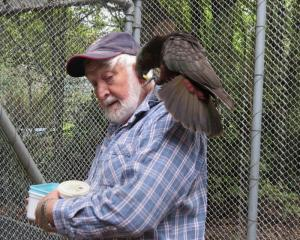 Male kaka Casey lands on Russell Evans' shoulder anxious to get to the food he has prepared.