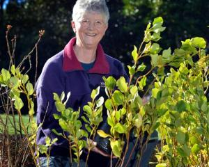 Moira Parker checks on the progress of plants at the Yellow-eyed Penguin Trust nursery. Photo by...