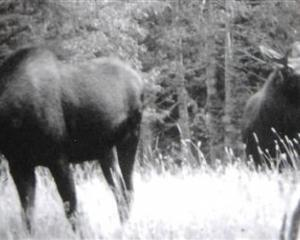 Never-before published photographs of three moose taken in Fiordland in 1953. Photos by Fred...