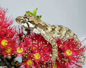 The forest gecko (Mokopiriakau granulatus) is one of many animals that make use of rata nectar,...