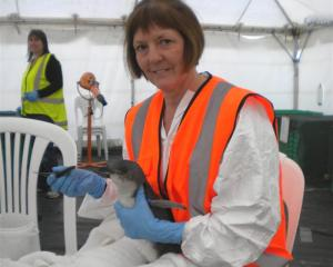Oamaru woman Sue Downton feeds a little blue penguin in a Mount Maunganui wildlife treatment...