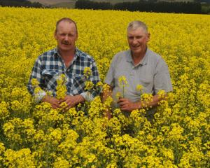 Palmerston farmers Ron (left) and Noel Sheat inspect their crop of oil-seed rape which will...