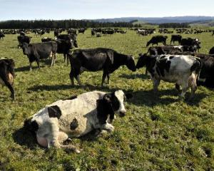 Peak cows? This question has been a topic for discussion among academics at the University of...
