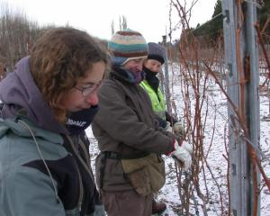 Pruning chardonnay vines yesterday with light snow on the ground and the temperature just above...